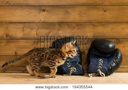 Kitten of Bengali breed playing with old boxing gloves against the background of a wooden wall