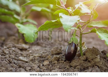 The Aubergine Grows In The Bushes.