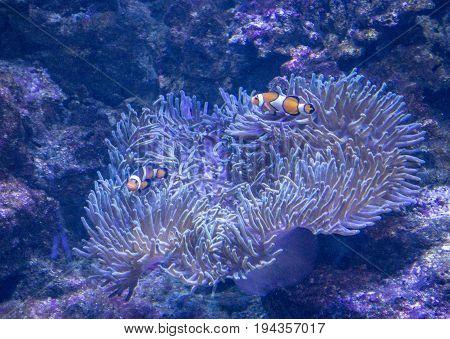Tropical fish Clownfish in the Aquarium of Barcelona