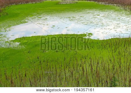 The swamp covered with green ooze of plants in the center of which the site with open water in which is reflected the blue sky with white clouds.