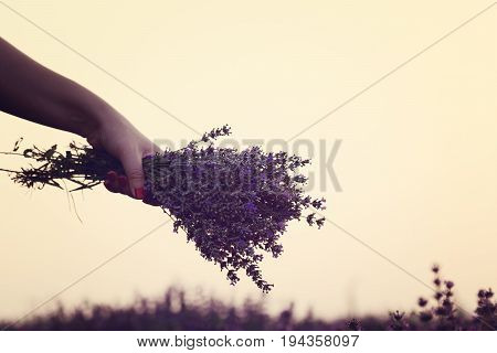 Gathering a bouquet of lavender. Girl hand holding a bouquet of fresh lavender in lavender field. Sun, sun haze, glare. Purple tinting