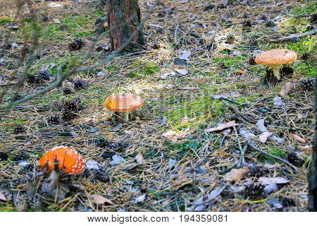 Red Mushroom (amanita Muscaria, Fly Ageric, Fly Amanita) In Forest