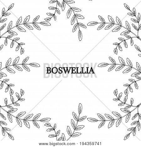Indian Frankincense Salai or Boswellia serrata vintage illustration.Olibanum-tree Boswellia sacra , aromatic tree. Ink hand drawn herbal illustration. Decorative frame, border.