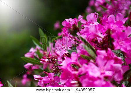 Pink Flowers Close-up, Nature Background