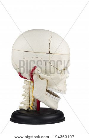Artificial human skull model on the white background