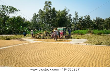 People Harvesting Rice By Machine