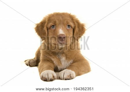 Cute nova scotia duck tolling retriever puppy lying on the floor seen from the front isolated on a white background
