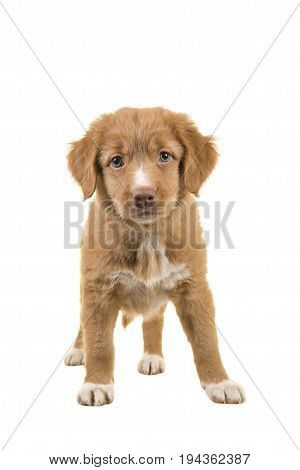 Cute standing nova scotia duck tolling retriever puppy facing the camera seen from the front isolated on a white background