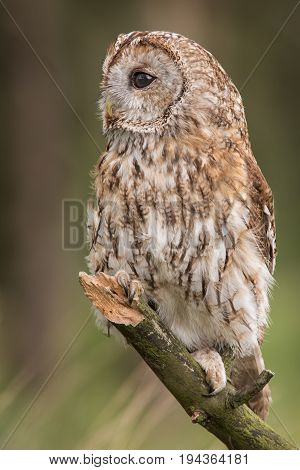upright vertical portrait photograph of a Tawny owl perched on a branch looking to the left