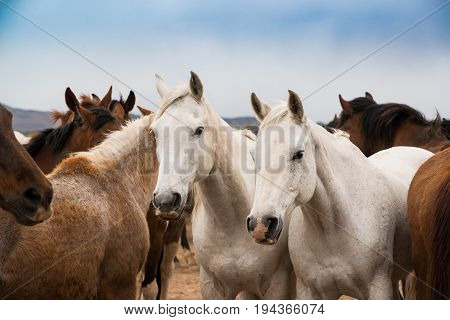 Two white horses in herd on prarie