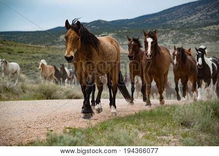 Bay horse leading herd of horses running along dirt road