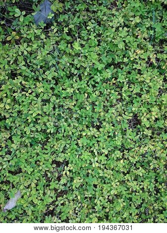 Green Natural Background Of Small Leaves. Greenery Summer Or Spring Grass Carpet Texture. Blueish So