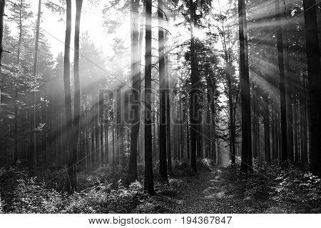 sun beams in a fogy in forest