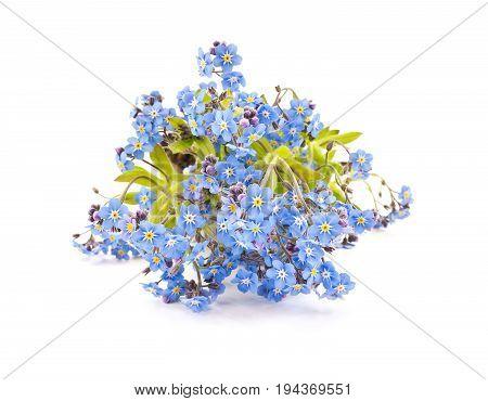 Garden flower Myosotis isolated on white background