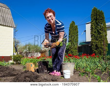 Voronezh, Russia - May 04, 2017: Planting a tomato in the garden