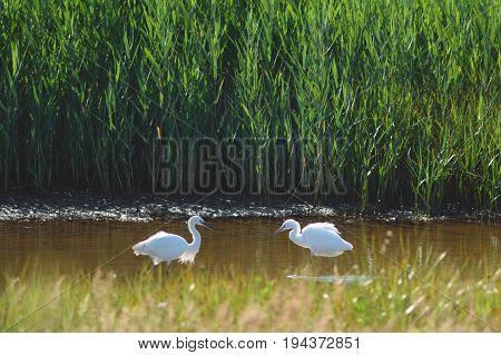 Two little egrets in Seaton Wetlands Devon