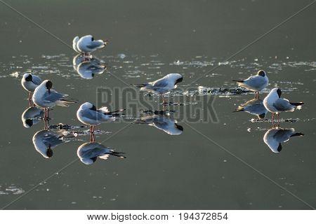 Black-headed seagulls resting in Seaton Wetlands Devon