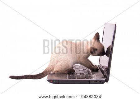 Chocolate point Siamese kitten sniffing on a laptop screen, isolated on white