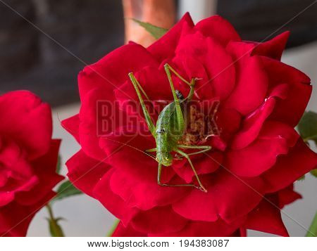 Meadow Grasshopper (Chorthippus parallelus). Macro photograph of a brown grasshopper sitting on rose flower. Macro shallow depth of field