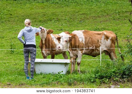 Active female hiker wearing sporty clothes observing and caressing pasturing cows on mountain meadow, Gorenjska region, Alps, Slovenia.