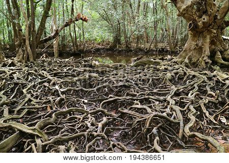 Amazing tree roots spread throughout the mangrove forest, Trat Province of Thailand