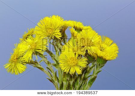 herb Tussilago farfara - coltsfoot and blue sky background