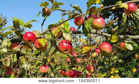 Branches of an apple-tree with ripe red apples against the blue sky