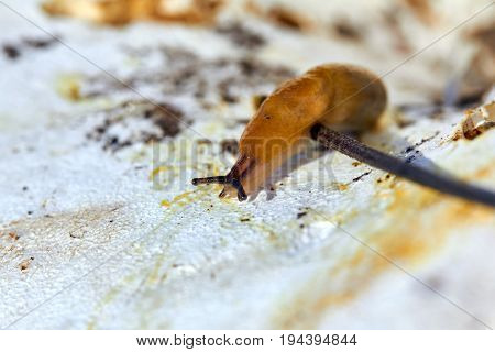 Land slug on mushrooms. Harmless to humans, dangerous to agricultural plants.