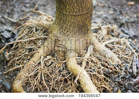 Bare Roots Of A Small Lemon Tree
