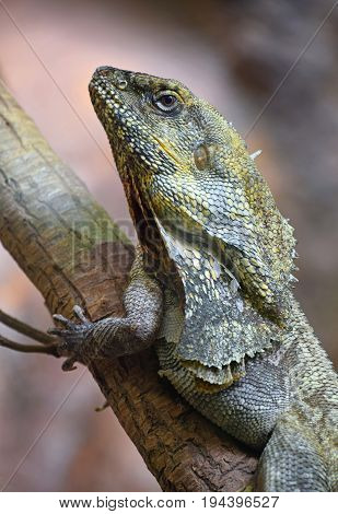 Close Up Side Portrait Of Frilled Lizard On Tree