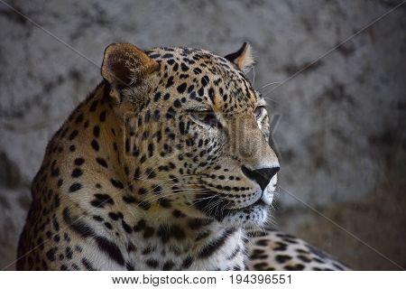 Close Up Side Portrait Of Amur Leopard Over Rocks