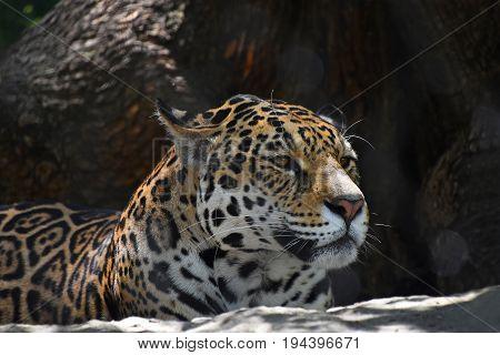 Close Up Side Portrait Of Jaguar