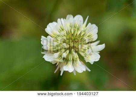 Flower of a White Clower (Trifolium repens)