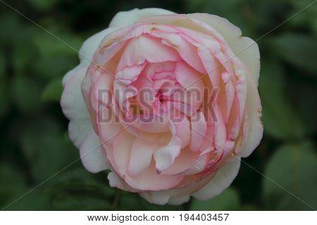 Rose - Rosa (pink, white), Harnes, Lens, Pas-de-Calais, Nord-Pas-de-Calais, Hauts-de-France, France