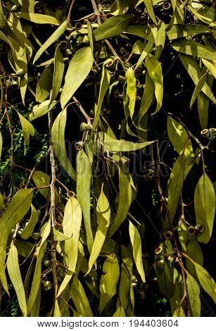 Green eucalyptus gum tree leaves ideal as background