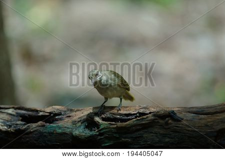 Streak-eared Bulbul (pycnonotus Blanfordi) In Nature