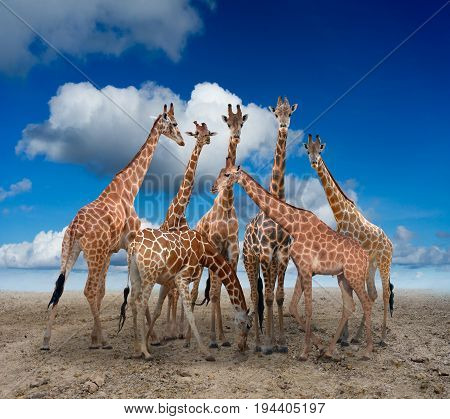 Group Of Giraffe Standing On The Ground