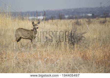 Mule Deer on the Plains in the Rocky Mountian Arsenal wildlife refuge poster