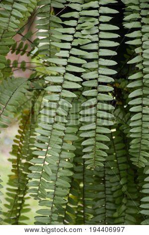 fresh green nephrolepis cordifolia plant in nature garden