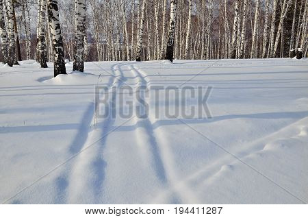 Snow covered track leading to the white birch grove. A beautiful calm winter landscape permeated with sunlight