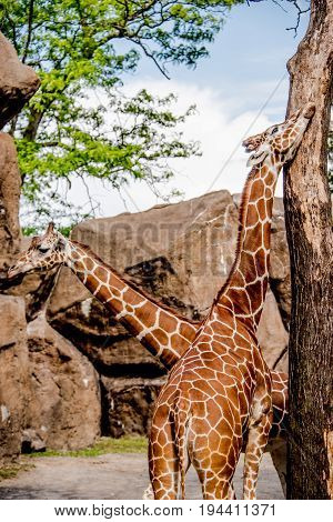 Two Giraffes In A Zoo Enclosure