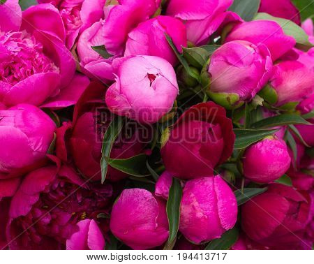Background of peonies. A wedding bouquet of pink peonies. Pion lobes