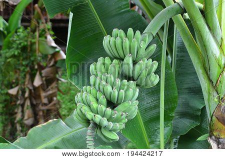 Young Green Banana On Tree