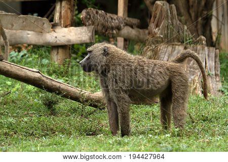 Baboons in the African savannah in Kenya