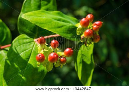 Close-up of red Rowan Berries on Branches. View on Red Rowan Berries in Sunlight. Growing Berries in Summer.