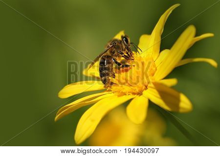 Bee (Apis) on flower Dahlia Garden (Dahlia Cav.)
