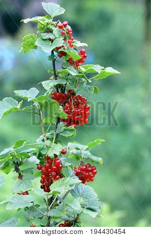 Ripe Fruits Of Red Ribes  Summer