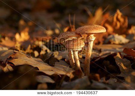 Mushrooms Honey fungus (Armillaria)  in the forest , Autumn