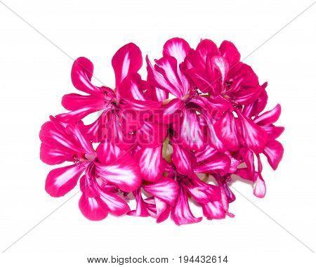 Terry Red Decorative Geranium Perspective, Fresh Delicate Flowers And Petals Of Pelargonium, Isolate