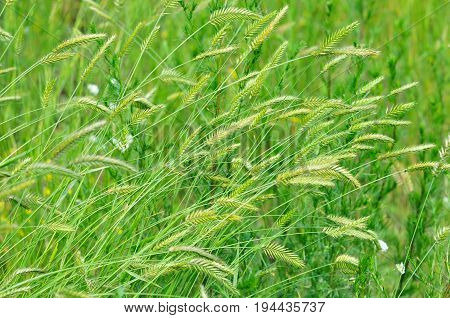 Agropyron - perennial plant of the family Poaceae. Meadow plants, wild grass, forage, cereal grasses.